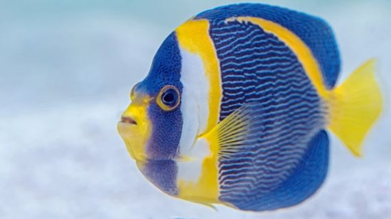 Angelfish Care For Beginners